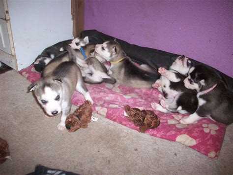 8 week husky puppy 8 week siberian husky puppies manchester greater manchester pets4homes