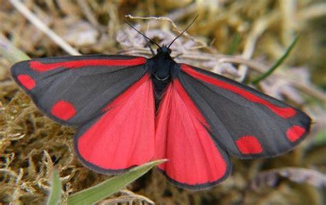 red and black butterflies red and black butterfly alva jaleit pinterest