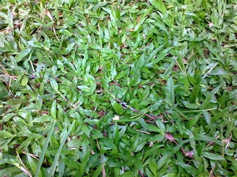 jual rumput gajah biasa suplier tanaman hias jual