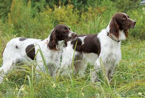 french setter dog breed pointing dog blog breed of the week the french spaniel