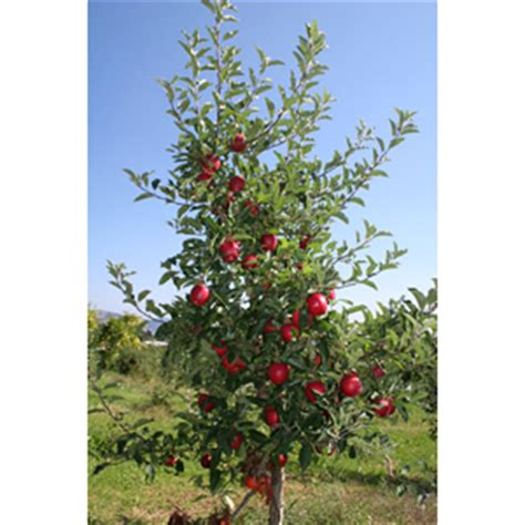 Fruit Tree Pruning Guide - the apple tree guy