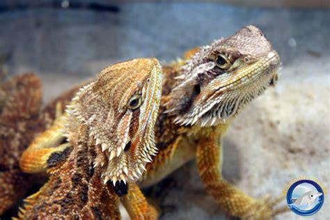 lade per fotografia lade per drago barbuto lade per drago barbuto