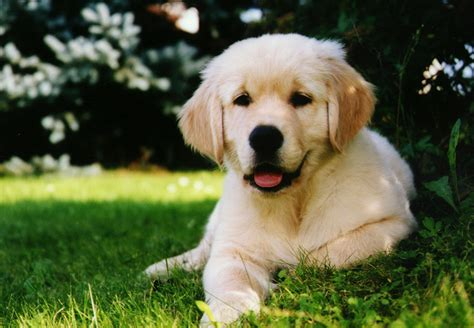 retriever golden golden retriever vs labrador breeds picture