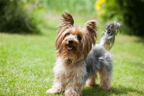purebred yorkie price le terrier