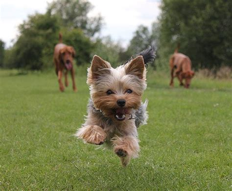 yorkie running 1000 ideas about terriers on yorkie yorkie puppies and teacup