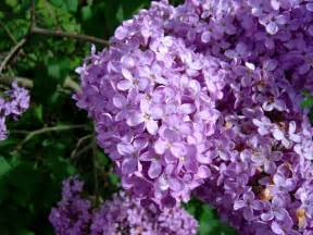 lilac file lilac flowers1 jpg wikimedia commons