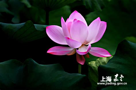 host lotus jiading to host lotus and water exhibition