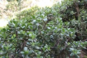 portulacaria care growing elephant bush succulents in