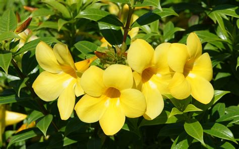 Picture Of Yellow Bell beautiful wallpapers