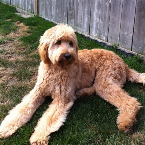 pictures of female labradoodles haircuts 73 best images about doodles on pinterest poodles