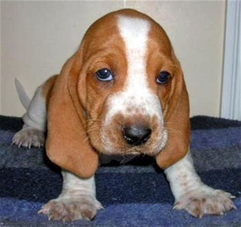 basset hound mix puppies bagle hound basset hound beagle mix info facts temperament puppies
