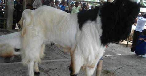 Bibit Kambing Ternak jendela hewan usaha ternak kambing etawa