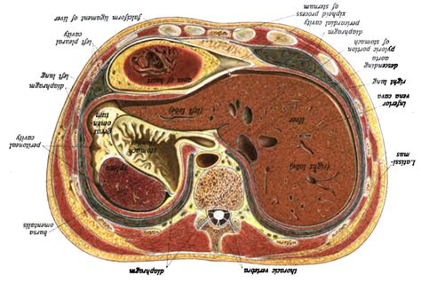human body cross section anatomy and interpretation emily greenleaf