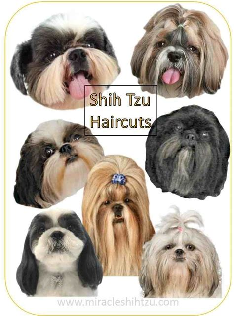 beard optionms for poodles shih tzu haircuts hair style options from head to tail to