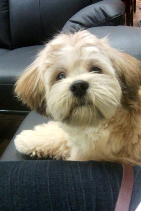 shichon teddybear haircuts image gallery shichon hairstyles
