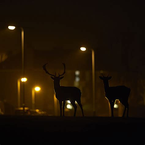 low light photography low light photography the urban deer canon come and see