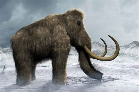 mammoth images new research finds last woolly mammoths died of thirst