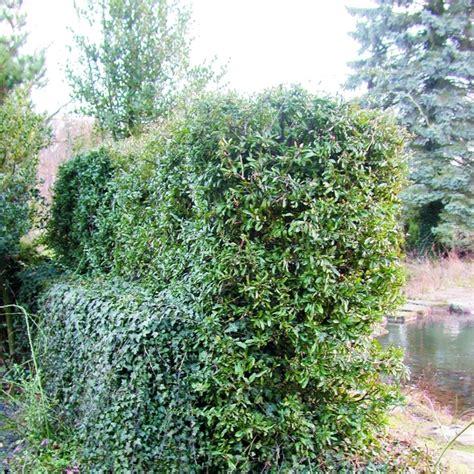 Garten Dicht Pflanzen by Naturagart Shop Dicht Und Gr 252 N Feuerdorn Hecke