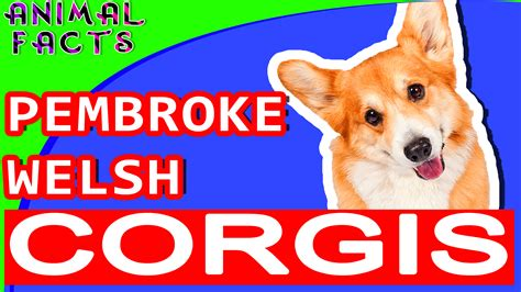 dogs 101 corgi pembroke corgi dogs 101 corgi pembroke animal facts