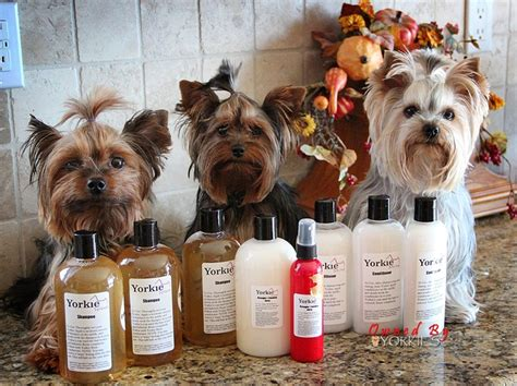 my yorkie smells what we got for winning the photo contest with yorkie splash shine time