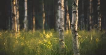 15 2560x1340 birch tree desktop wallpapers free nature wallpapers