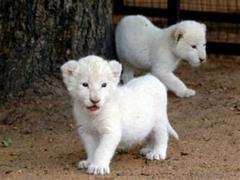 cute white cute white lion baby www pixshark com images galleries