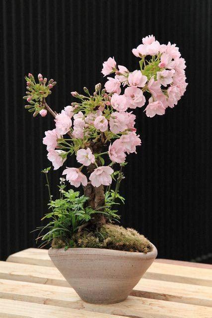 cherry blossom bonsai care instructions xcitefunnet