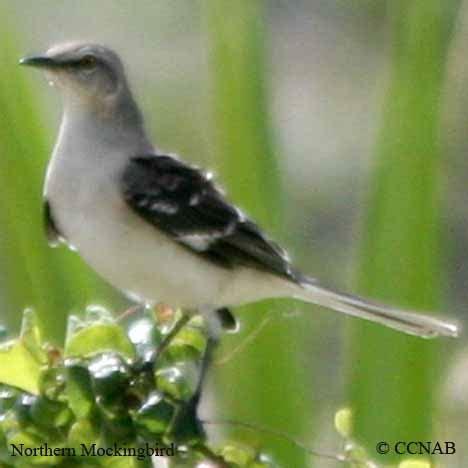northern mockingbird north american birds birds of