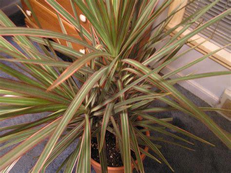 dracaena marginata tricolor houseplants learn  http
