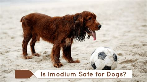 imodium for dogs imodium ok for dogs