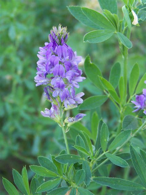Herbal Alfalfa alfalfa info packet herb news