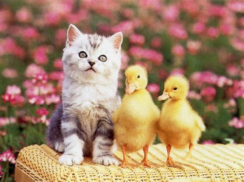 wallpaper chat humour fond 233 cran chaton canards p 226 ques