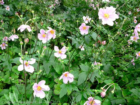 aggregata plants gardens planting of - Perennial Flowering Shrubs