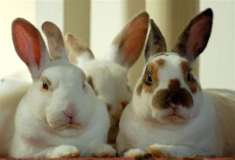 rabbit color calculator broken rabbits color genetics