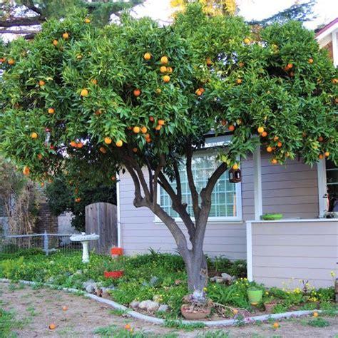 washington navel orange tree buy  nature hills nursery