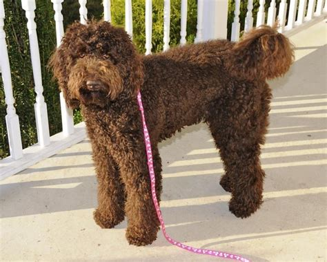 labradoodle grooming cuts picture australian labradoodle grooming styles