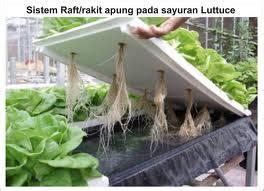 Jual Bibit Sawi Putih Jakarta cara menanam secara hidroponik gusti sagara