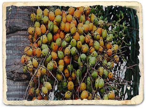Pinang Muda 2 10 manfaat buah pinang muda efek sing kandungan gizinya