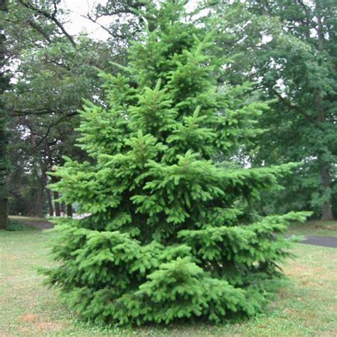 silver fir tree