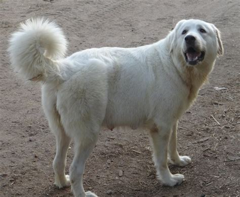 kaukasian dog with short hair caucasian shepherd dog breed information and pictures