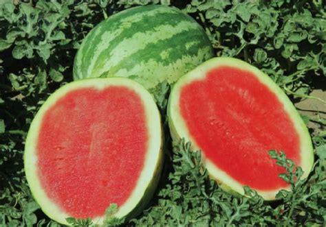 Benih Buah Semangka Manis Tanpa Biji Eceran Mudah Tumbuh Dan Cocok Di cara budidaya semangka tanpa biji