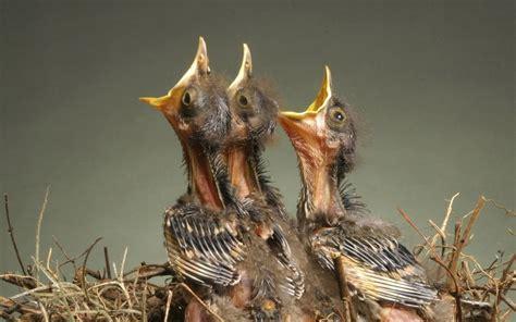 Pakan Burung Walet Anakan cara merawat burung jalak suren anakan agar cepat gacor