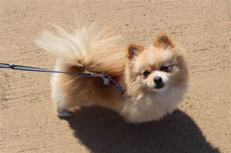 pomeranian and allergies do pomeranians shed canna pet 174