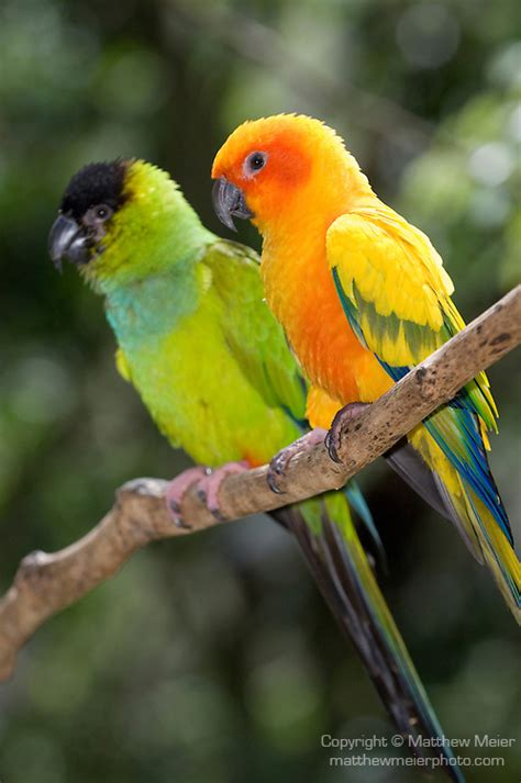 Kaos Burung Crimson Bellied Conure sun conure vs nanday conure for conures