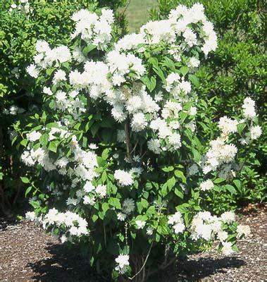 miniature flowering shrubs mockorange philadelphus miniature snowflake