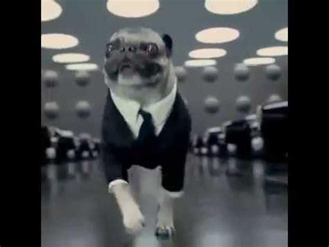 frank pug frank the pug mib frankthepug smilingpugs