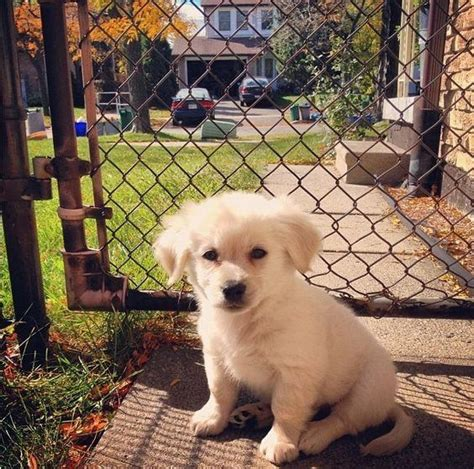 medium sized pomeranian what does a pomeranian golden retriever mix look like quora