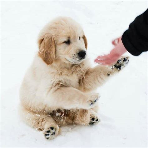 golden retriever breeders in maine 9 best maltese puppies and more images on maltese puppies in florida and