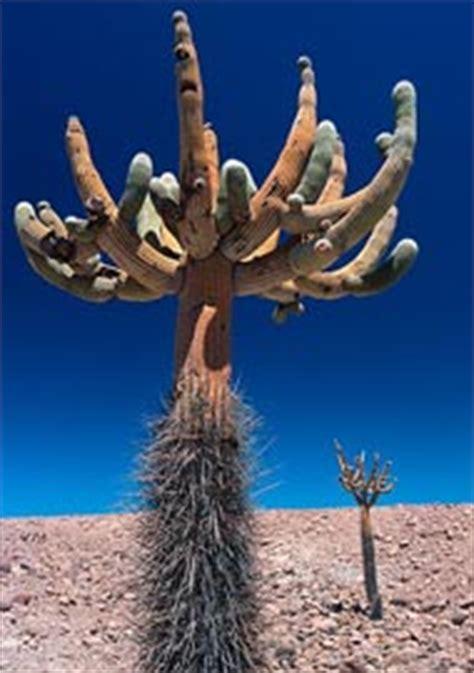 Fotos De Jardines De Flores #3: Browningia-candelaris.jpg