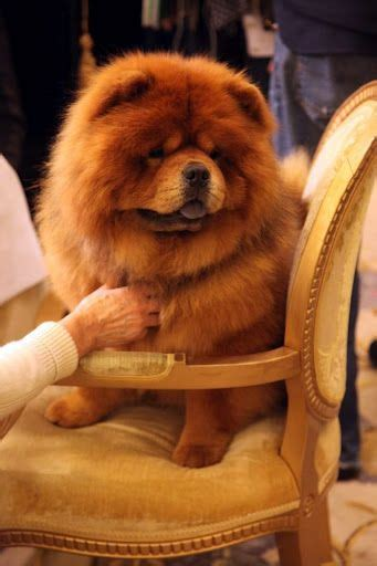 chow chow cross pug 25 best ideas about chow chow on black chow chow puppies adorable